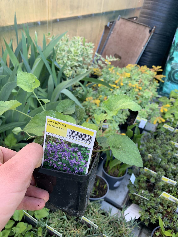 Viola Mammola odorata v12 quadro (sia viola che bianca)