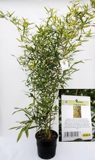 Bamboo Phyllostachys Aurea V24 h 150-170