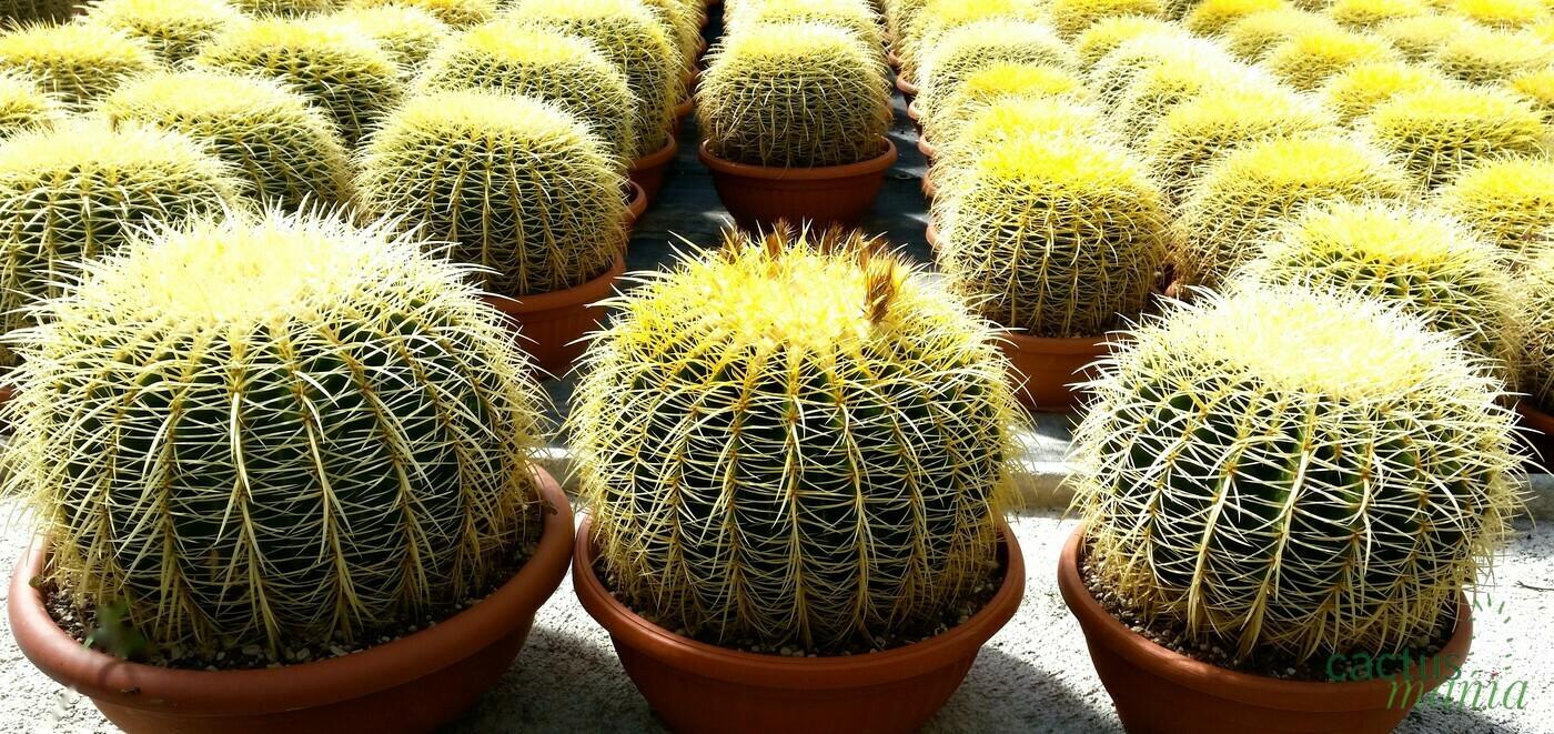 ECHINOCACTUS GRUSONII vaso cm 40