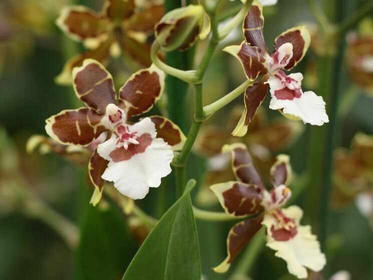 ORCHIDEA CAMBRIA SP