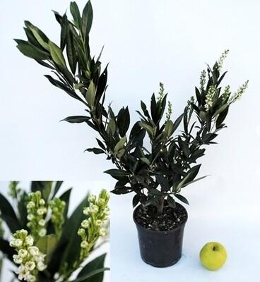 Prunus Lauro Ottolyken