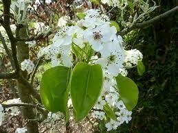 Pyrus Calleriana Chanticleer (Pero da fiore)
