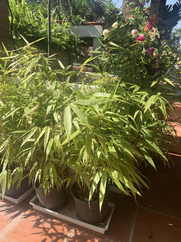 Fargesia Rufa Nana Bamboo nano vaso 24cm