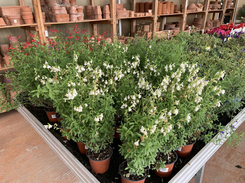 Salvia Greggi v18