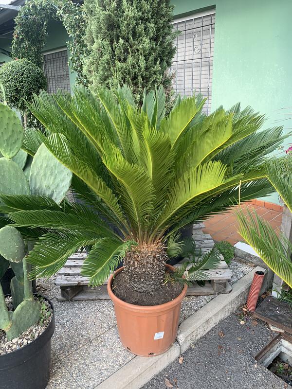 Cycas Revoluta vaso 35cm