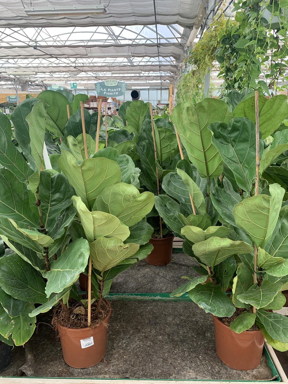 Ficus Lyrata v24 3 piante h 110/120