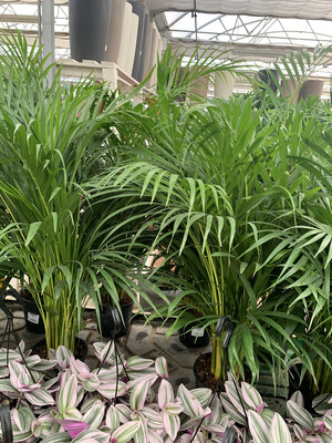Areca, Dyspsis Lutescens
