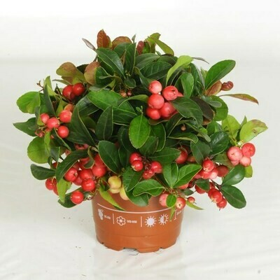 Gaultheria o The del Canada
