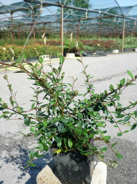 Cotoneaster Lacteus v16