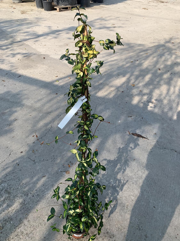 RYNCHOSPERMUM Aureovariegato Gelsomino variegato