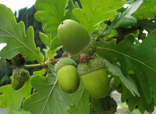 TEC-PRENOTAZIONE & RITIRO GRATUITO - ALBERO - Quercus Robur / Quercia / Farnia ( pianta in alveolo forestale h 25-60 cm)