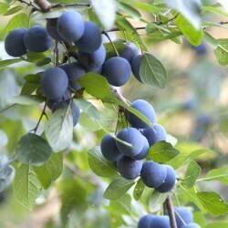 PRENOTAZIONE & RITIRO GRATUITO ARBUSTO-CESPUGLIO Prunus Selvatica / Prugnolo / Prugnola