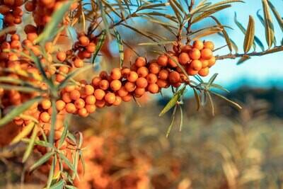 PRENOTAZIONE & RITIRO GRATUITO ARBUSTO-CESPUGLIO Hippophae Elaeagnus rhamnoides / Olivello Spinoso