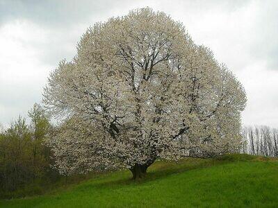PRENOTAZIONE & RITIRO GRATUITO ALBERO Prunus avium / Ciliegio Selvatico / Ciliegio degli uccelli