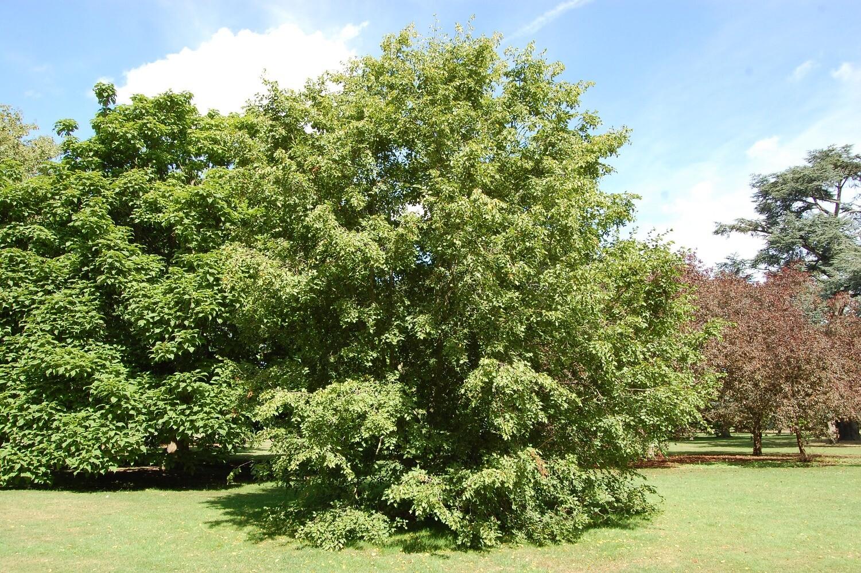 PRENOTAZIONE & RITIRO GRATUITO ALBERO Carpino Nero / Ostrya carpinifolia / Ostria / Carpinella (PIANTA GRANDE ALBERO ALTO più di 1,5 Metri )