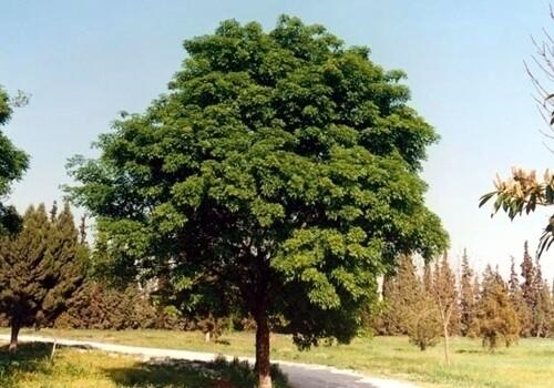 AGR-PRENOTAZIONE & RITIRO GRATUITO - ALBERO - Fraxinus oxycarpa / Frassino Ossifillo / Oxyphilla o Angustifolia / Frassino meridionale - (PIANTA ALTA H>1,5 metri)