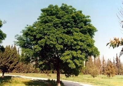 PRENOTAZIONE & RITIRO GRATUITO ALBERO Frassino Ossifillo / Fraxinus oxycarpa / oxyphilla / angustifolia / Frassino meridionale