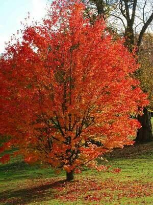 ALBERO - Acer platanoides / Acero riccio - PIANTA ALTA H>1,5mt vaso 2 litri
