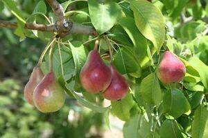 TEC-PRENOTAZIONE & RITIRO GRATUITO - ALBERO - Pyrus Pyreaster / Pero Comune( pianta in alveolo forestale h 25-60 cm)