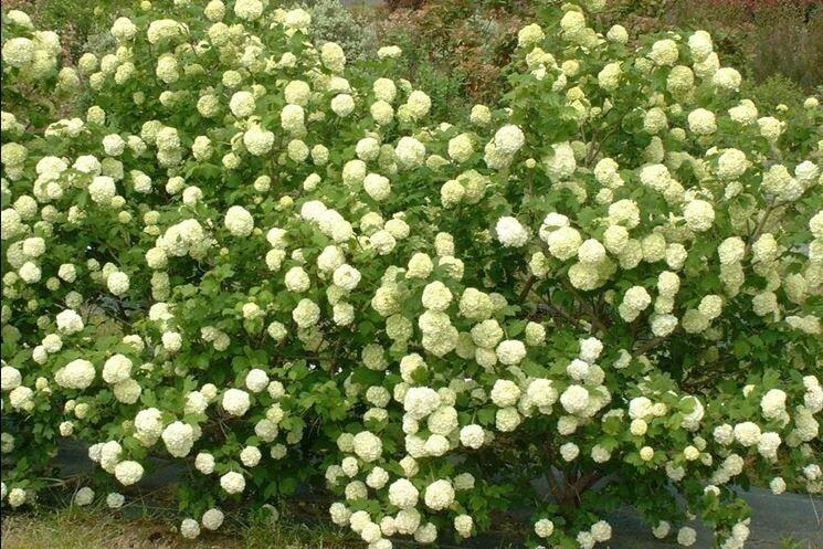 AGR-PRENOTAZIONE & RITIRO GRATUITO - ARBUSTO - Viburnum Opulus / Pallone di maggio / Palla di neve