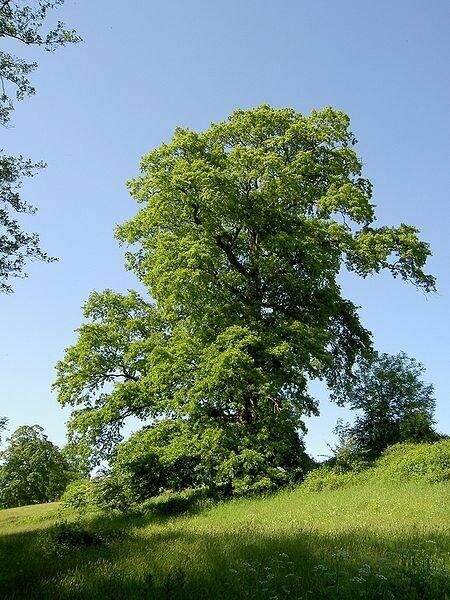PRENOTAZIONE & RITIRO GRATUITO ALBERO Quercus cerris / Cerro