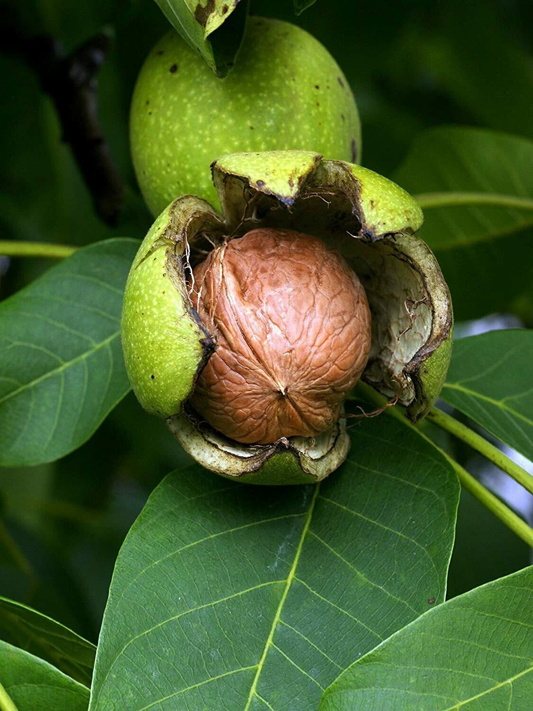 ALBERO - Juglans regia / Noce da frutto / Noce bianco / Noce comune / Noce reale  vaso 2 litri