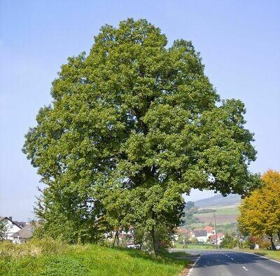 PRENOTAZIONE & RITIRO GRATUITO ALBERO Quercus petraea / Rovere
