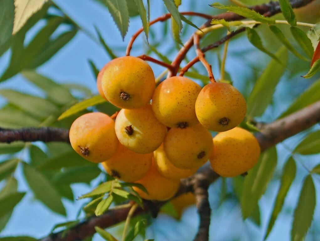 ALBERO - Sorbus sativa / Sorbo domestico / Sorbus Domestica vaso 2 litri