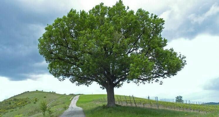 PRENOTAZIONE & RITIRO GRATUITO ALBERO Quercus pubescens / Roverella
