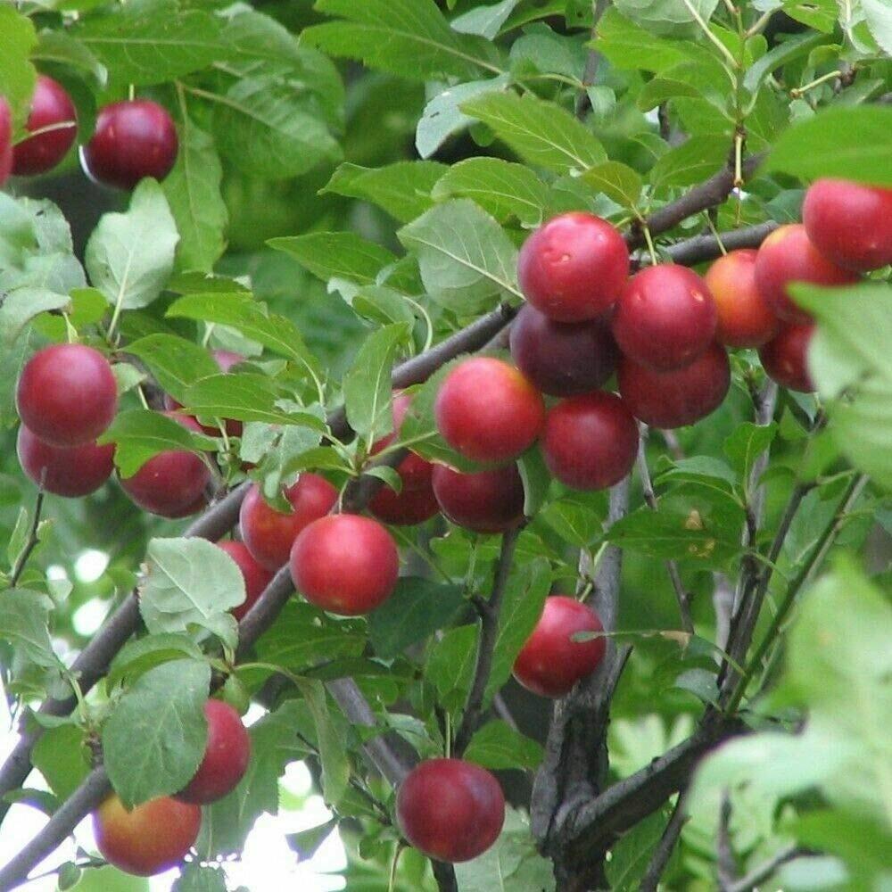 Mirabolano / Prunus cerasifera vaso 2 litri