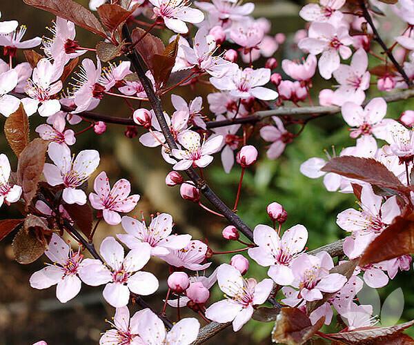 PRENOTAZIONE & RITIRO GRATUITO ALBERO  Mirabolano / Prunus cerasifera / Amolo / Brombolo o marusticano / Rusticano