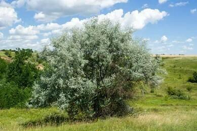PRENOTAZIONE & RITIRO GRATUITO ALBERO Elaeagnus angustifolia / Olivo di Boemia / Olivo russo