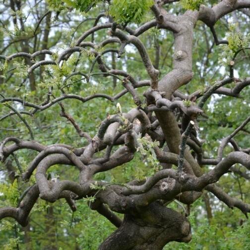 Styphnolobium japonicum / Sophora japonica / Sofora  vaso 2 litri