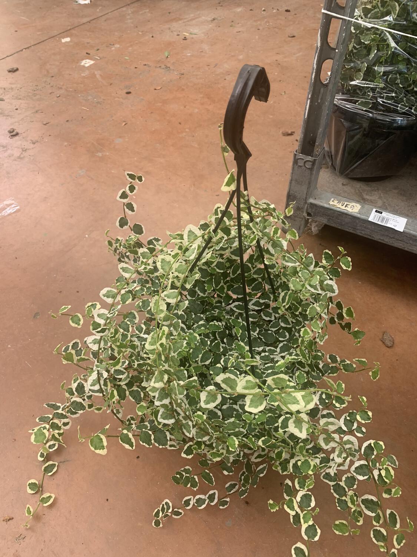 Ficus pumila sonny basket 20