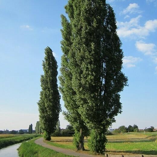 Populus Nigra Italica - Pioppo Nero Cipressino vaso 26 h 300/330
