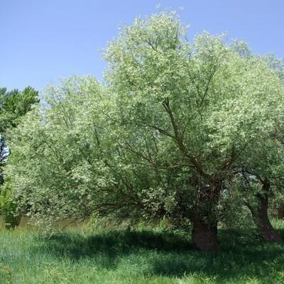 PRENOTAZIONE & RITIRO GRATUITO ALBERO Salix Alba / Salice bianco / Salice da pertiche