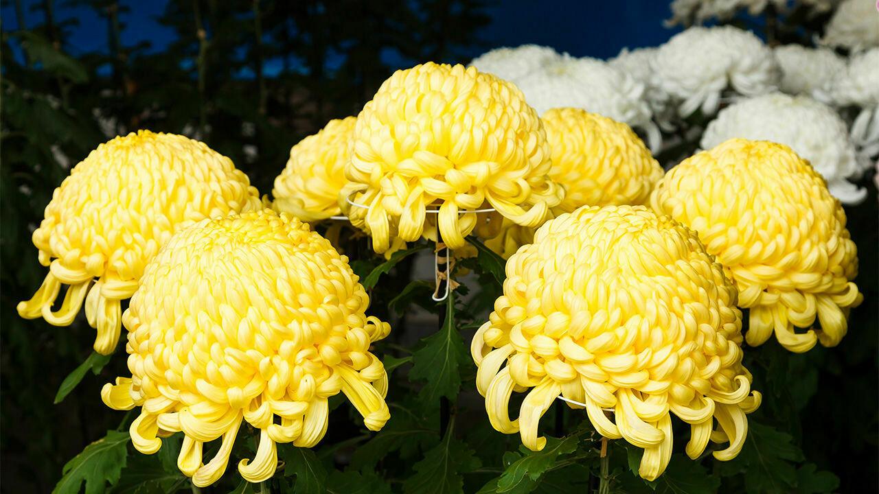 Crisantemi SHOESMITH, fiori recisi sfusi (NO MAZZO)/OGNISSANTI