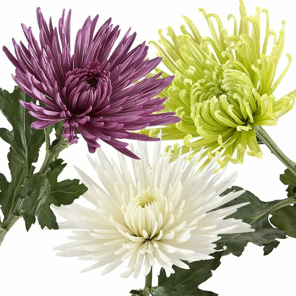 Crisantemi STELLA, fiori recisi sfusi (NO MAZZO)/OGNISSANTI