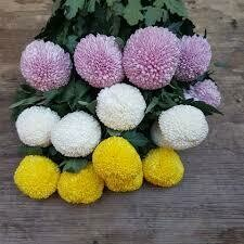 Crisantemi PING-PONG, fiori recisi sfusi (NO MAZZO)/OGNISSANTI