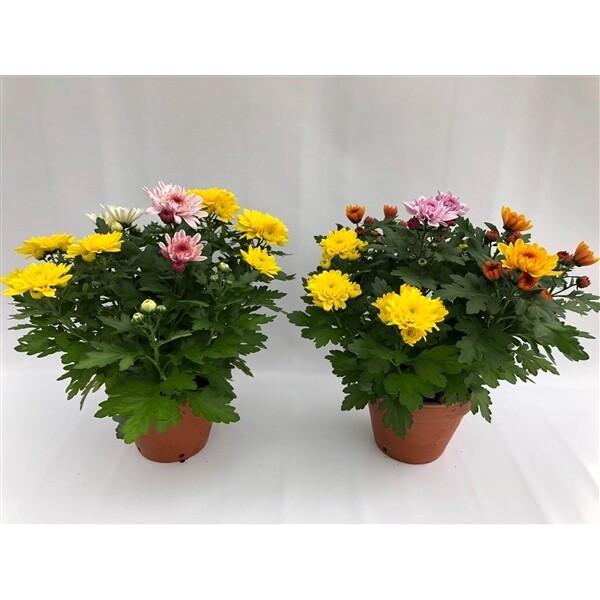 Crisantemo / Sancarlino in vaso 12 cm