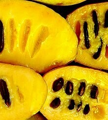 BANANO DEL NORD / ASIMINA TRILOBA / PAW PAW/ Banana vaso21 cm