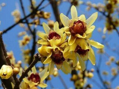 Calycanthus- Calicanto vaso 24 Chimonanthus praecox