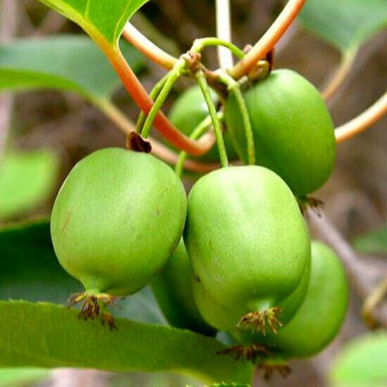 Actinidia Arguta Mini-kiwi
