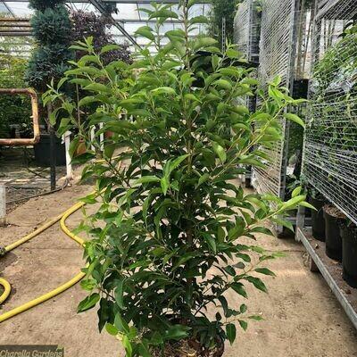 Prunus Lusitanico. Lauro del Portogallo