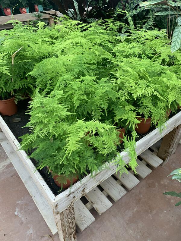 Asparagus Setaceus- Plumoso