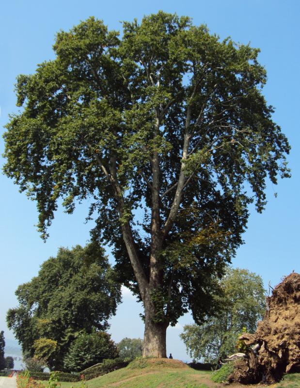 Platanus orientalis / Platano orientale h 300 v40