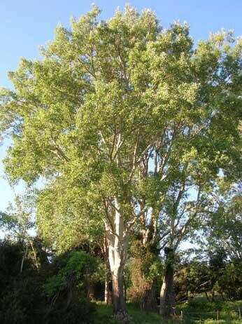 Populus Alba / Pioppo Bianco / Gattice / Albera. POPULUS ALBA PYRAMIDALIS