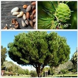 Pinus Pinea / Pino Domestico / Pino dei Pinoli / Pino Italiano