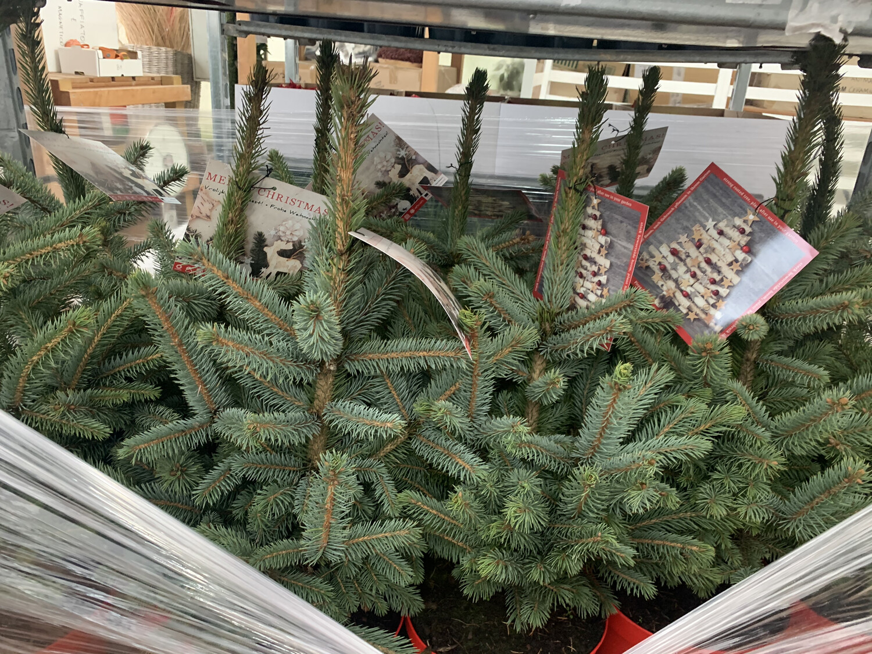Abete Argentato Picea Pungens Glauca vaso 21cm h 50/60 cm