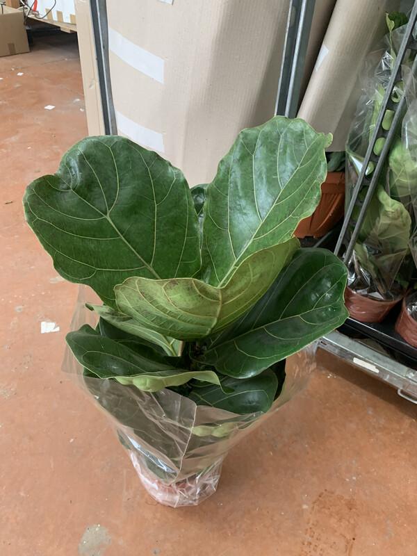 Ficus Lyrata v18 h 80